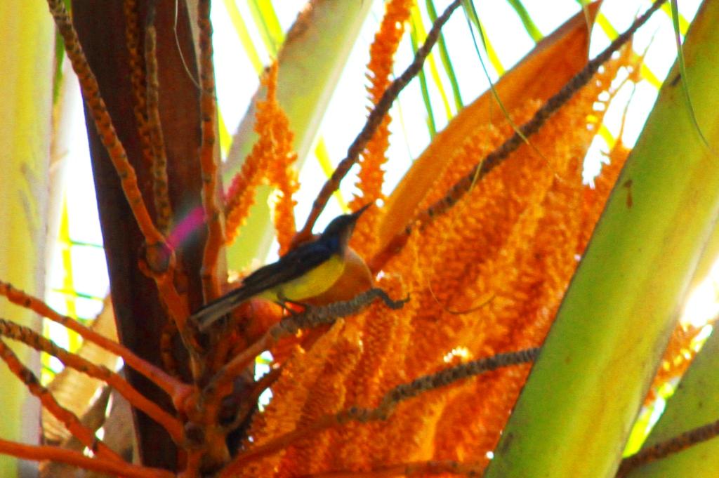 burung madu kelapa nimadesriandani