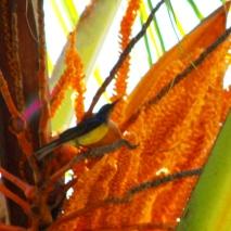 Burung Madu Kelapa