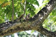 Burung Tekukur di batang pohon