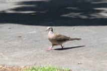 Burung tekukur di jalan