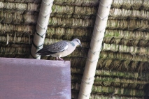 burung Tekukur di bawah atap bangunan traditional