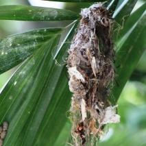 Sarang Burung Madu di Pohon Palm