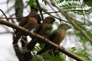 Anak anak Burung Bondol Haji