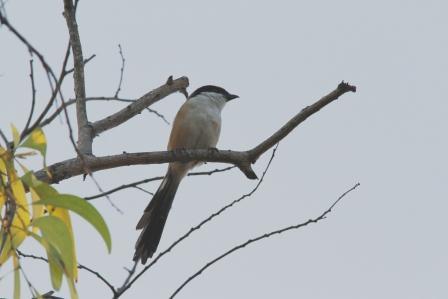 Burung Kodras 1
