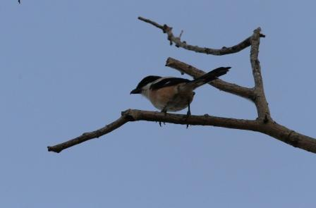 Burung Kodras 2