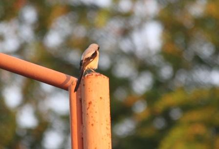 Burung Kodras 3