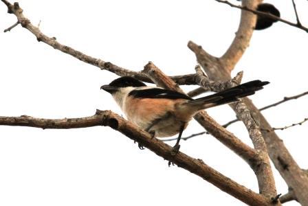 Burung Kodras