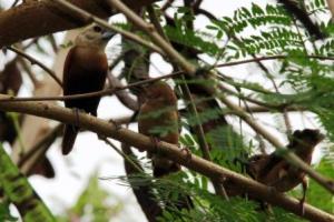Induk Burung BondolHaji dan anak-anaknya