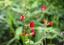Bunga Kacang Ucu Merah 2