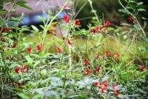 Bunga Kacang Ucu Merah 3