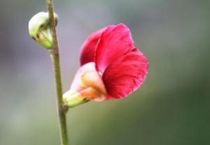 Bunga Kacang Ucu berwarna Merah dari tepi jalan di Sumatera Barat.
