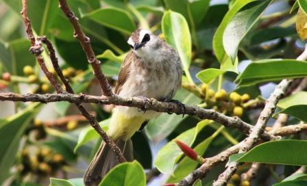 Burung Cerukcuk 3