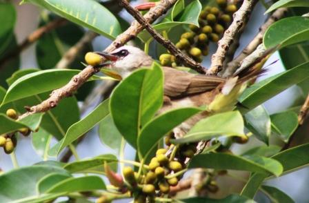 Burung Cerukcuk 4