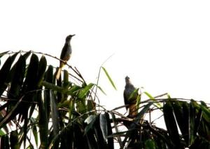 burung cerukcuk