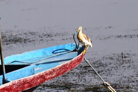 Bangau Danau Batur 2