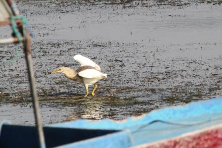 Bangau Danau Batur 5
