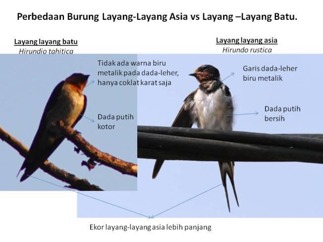 Burung layang-layang.