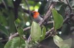 burung cabe dan benalu
