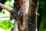 Burung Caladi Tilik 5