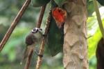 Burung Cerukcuk 1