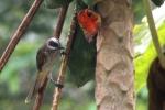 Burung Cerukcuk 2