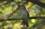Burung Cerukcuk Makan Buah Kersen 1