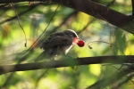Burung Cerukcuk Makan Buah Kersen