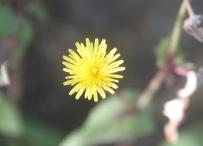 Bunga Dandelion.
