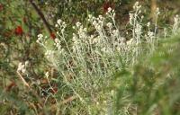 Edelweiss Gunung Bromo