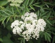 Elder flower (Kembang Girang girang)