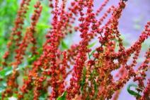 Bunga rumput Sorell merah