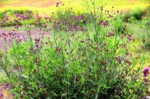 Bunga Verbena liar
