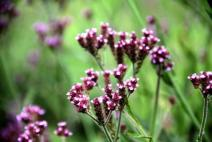 Bunga Verbena liar.