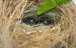 Dua ekor anak burung pipit 1