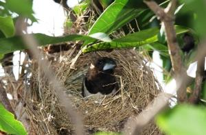 Seekor Burung Pipit Di Sarangnya 1
