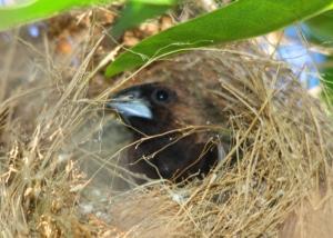 Seekor Burung Pipit Di Sarangnya 4