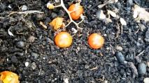 Tomat 1