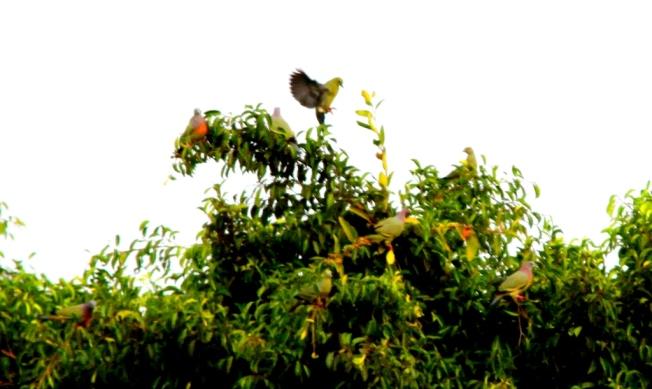 Burung Punai