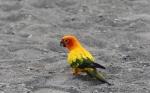 free flight Parrot