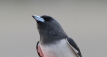Wood Swallow 1