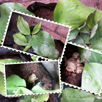 Kencur - tanaman Dapur Hidup sekaligus Apotik Hidup.